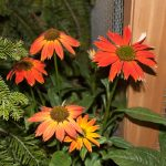 Enchinacea Sombrero - Terra Garden Center