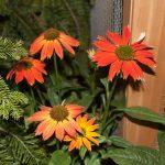 Enchinacea Sombrero - Terra Garden Center